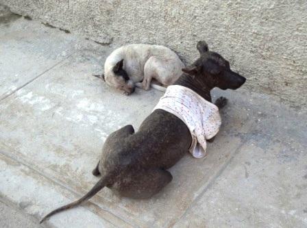 dogs of havana cuba
